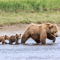 A brown bear sow moves across the water in Hallo Bay, Katmai National Park