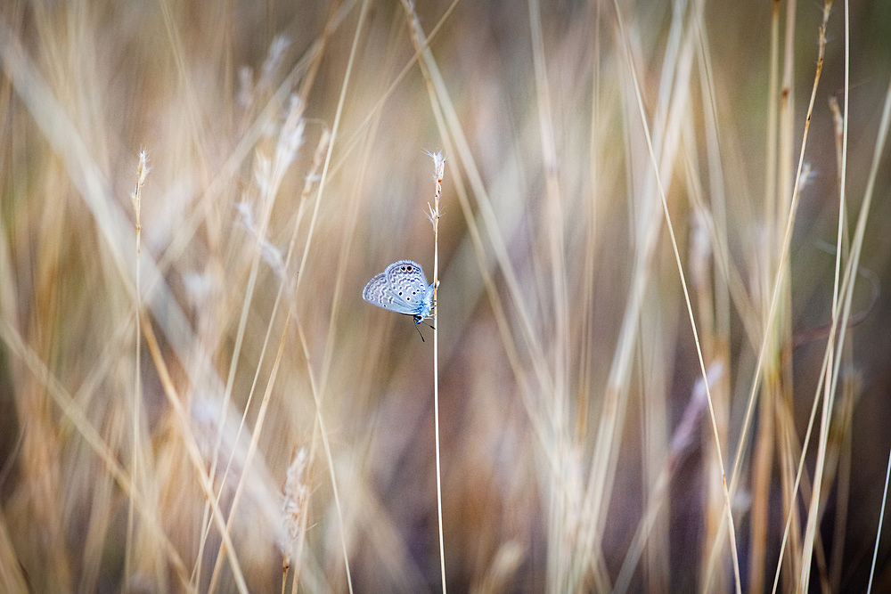 Cyna blue butterfly, autumn in Austin, Texas