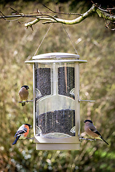 Male and female bullfinches - Pyrrhula pyrrhula - on a wild bird seed feeder filled with sunflower seeds