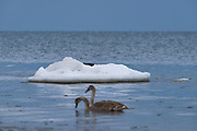 Two juvenile mute swans (Cygnus olor) floats in front of three resting otters (Lutra lutra) laying on ice covered stone in shallow sea water, Kaltene Seacoast, Kurzeme, Latvia Ⓒ Davis Ulands | davisulands.com