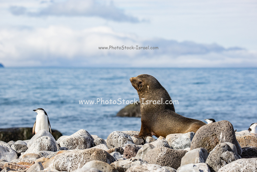 Antarctic fur seal (Arctocephalus gazella) on rocky coast. The female and juveniles are much smaller than the large males, and have a grey pelt with a lighter underside. Males reach a length of up to 2 metres and a weight of 120 kilograms. The external ears (pinnae) of a seal are also seen here. This seal ranges throughout the Southern Ocean that surrounds Antarctica, using its flippers to swim and feeding mainly on krill in shallow waters at night. Photographed in Antarctica in February