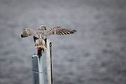 Gyrfalcon, landing on a helicopter on the deck of the Greenpeace ship Arctic Sunrise in Fram Strait, 78 49 N, 0 35E. The largest falcon, the Gyrfalcon can reach speeds of up to 200km an hour in measured flight.