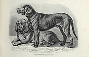 Bloodhounds From the book ' Royal Natural History ' Volume 1 Section II Edited by  Richard Lydekker, Published in London by Frederick Warne & Co in 1893-1894
