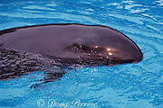 false killer whale, Pseudorca crassidens (captive) lifts eye above water to view photographer
