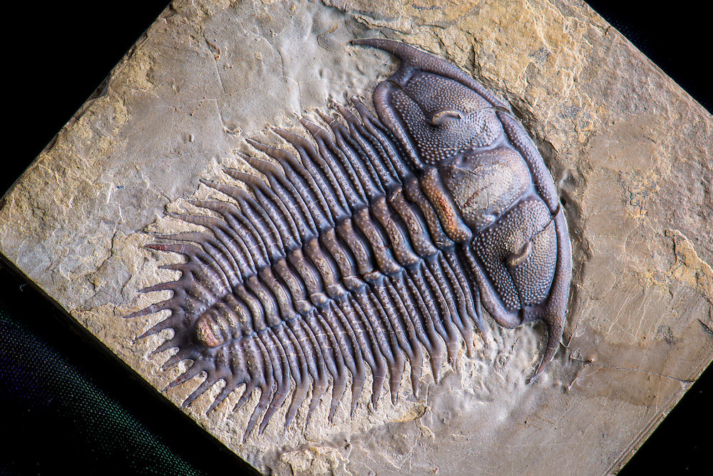 This is a superb and almost perfect odontopleurid (sagittal length: 58mm) from the Cambrian strata of northeastern China. It is a diagnostic trilobite for the uppermost middle Cambrian in China, occurring in the lower Kushan Formation.