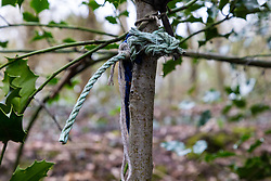 Indicating the possible use of restraints, a remnant of rope is tied to a tree. at a dogging spot - a place where people meet to have sex with strangers, just off the A26 at Eridge near Tonbridge Wells in Kent. March 27 2019.