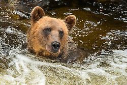 Having already eaten a couple of Pink Salmon this day, a Brown Bear has a happy face.