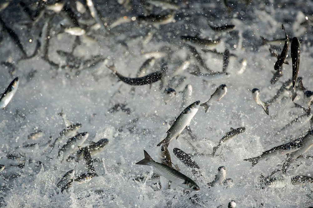 A school or shoal of White Mullet, Mugil curema, flees predatory fish offshore Palm Beach County, Florida, United States during the fall mullet run.