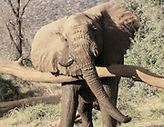 Kenya, Masai Mara, Close up of an African elephant front view