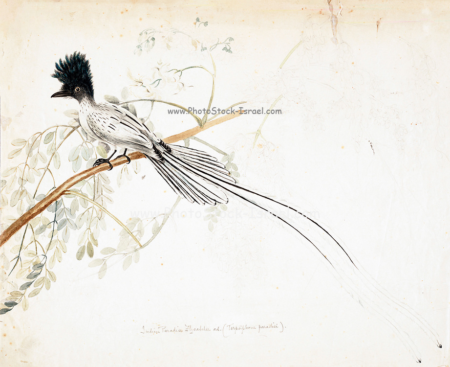 The Indian paradise flycatcher (Terpsiphone paradisi) is a medium-sized passerine bird native to Asia, where it is widely distributed. It is native to the Indian subcontinent, Central Asia and Myanmar. Males have elongated central tail feathers, and a black and rufous plumage in some populations, while others have white plumage. Females are short-tailed with rufous wings and a black head. Indian paradise flycatchers feed on insects, which they capture in the air often below a densely canopied tree. 18th century watercolor painting by Elizabeth Gwillim. Lady Elizabeth Symonds Gwillim (21 April 1763 – 21 December 1807) was an artist married to Sir Henry Gwillim, Puisne Judge at the Madras high court until 1808. Lady Gwillim painted a series of about 200 watercolours of Indian birds. Produced about 20 years before John James Audubon, her work has been acclaimed for its accuracy and natural postures as they were drawn from observations of the birds in life. She also painted fishes and flowers. McGill University Library and Archives