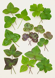 Hepatica leaves North America and Canada laid out on a white background.
