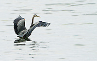 A Great Blue Heron (Ardea herodias fannini) lands in the Hood Canal of Puget Sound in western Washington State.