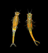 Branchipus schaefferi<br /> a fairy shrimp<br /> ventral view<br /> female left, male right