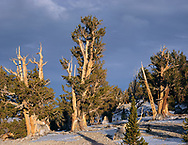CAEWM_13 - USA, California, Inyo National Forest, Evening light warms old bristlecone pine trees at the Patriarch Grove in the White Mountains. (7791x6000 px)