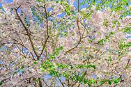 Cherry Blossoms, Wainscott Main St, Wainscott, NY