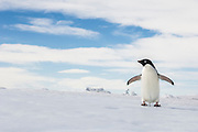 An Adelie penguin (Pygoscelis adeliae) cools off by holding its flippers out, enabling it to dissipate heat, near Cockburn Island, Admiralty Sound, Antarctica