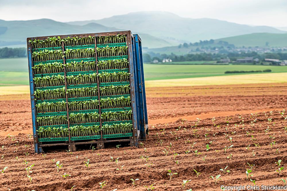 Morebattle, Kelso, Scottish Borders, UK. 17th June 2020. Eastern European farm labourers plant a field of Broccoli near Morebattle village in the Scottish Borders.