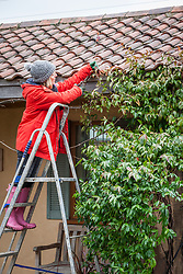Cutting back a Trachelospermum that is getting into roof tiles