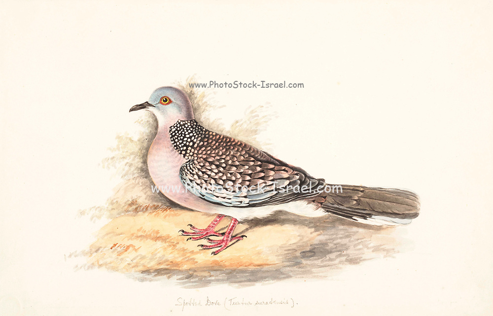 The spotted dove (Spilopelia chinensis syn Streptopelia chinensis) is a small and somewhat long-tailed pigeon that is a common resident breeding bird across its native range on the Indian subcontinent and in Southeast Asia. The species has been introduced to many parts of the world and feral populations have become established. 18th century watercolor painting by Elizabeth Gwillim. Lady Elizabeth Symonds Gwillim (21 April 1763 – 21 December 1807) was an artist married to Sir Henry Gwillim, Puisne Judge at the Madras high court until 1808. Lady Gwillim painted a series of about 200 watercolours of Indian birds. Produced about 20 years before John James Audubon, her work has been acclaimed for its accuracy and natural postures as they were drawn from observations of the birds in life. She also painted fishes and flowers. McGill University Library and Archives