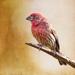 Male Purple Finch On A Bare Tree Branch