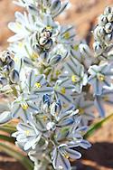 Desert lily, hesperocallis undulata, desert flower with white blossoms, Merzouga, Morocco.