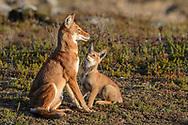 Äthiopischer Wolf (Canis simensis) im Bale Mountains Nationalpark im Web Valley in der Region Sodota. Adulte des Megitti Rudels beim Füttern der Welpen