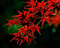 Bright red Japanese Maple leaves. Autumn backyard nature in New Jersey. Image taken with a Nikon DF camera and 300 mm f/4 lens (ISO 100, 300 mm, f/4, 1/400 sec).