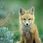 Red Fox, (Vulpus fulva) Portrait of pup near den. Spring.