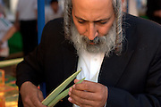 Israel, Bnei Brak, Closely examining the Lulav (palm branch) at the Sukkoth 4 species market.