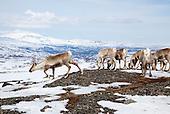 Reindeer spring migration - Gåbrien Sijte