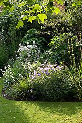 Evening light backlighting an early summer border with Geranium 'Johnson's Blue', Libertia grandiflora, sisyrinchium and Hesperis matronalis var. albiflora - sweet rocket