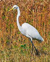 Great Egret (Ardea alba). Fort De Soto Park. Pinellas County, Florida. Image taken with a Nikon D300 camera and 80-400 mm VR lens.