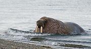 Whale rus (Odobenus rosmarus) at Poolepynten, Prins Karls Forland, Svalbard.