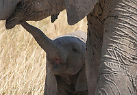 A baby African Elephant, Loxodonta africana, reaches for its mother in Serengeti National Park, Tanzania