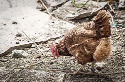 THEMENBILD - braune Hühner in Freilandhaltung, aufgenommen am 12. Juni 2019, Piesendorf, Österreich // brown free-range chickens on 2019/06/12, Piesendorf, Austria. EXPA Pictures © 2019, PhotoCredit: EXPA/ Stefanie Oberhauser