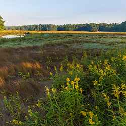 Goldenrod on the edge of a salt marsh along the York River at the Smelt Brook Preserve in York, Maine.