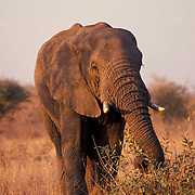 African Elephant, (Loxodonta africana) lone elephant feeding on bush in the acacia bushveld. Kruger.