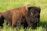 Buffalo (Bison bison) photographs, Custer State Park, South Dakota; August 2011