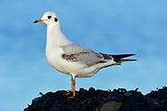 Black-headed Gull - Chroicocephalus ridibundus