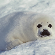 "A Harp Seal, called a ""white coat"", pup rests on an icepack off the shore of southern Canada in the spring."
