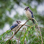 Blue jay parent and juvenile / fledgling perched in tree, with fledgling calling to parent.