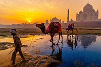 Boys and their camels at the Yamuna River, Taj Mahal in background, at sunrise, Agra, Uttar Pradesh, India
