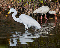 Great Egret (Ardea alba) and White Ibis (Eudocimus albus). Black Point Wildlife Drive, Merritt Island Wildlife Refuge. Merritt Island, Brevard County, Florida. Image taken with a Nikon D3x camera and 300 mm f/2.8 VR lens.