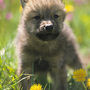 Gray Wolf (Canis lupus) pup in spring flowers in Montana. Captive Animal