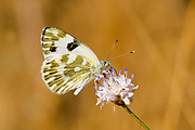 Bath White Pontia daplidice Butterfly  shot in Israel, Summer June