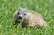 Mealtime for this young Groundhog
