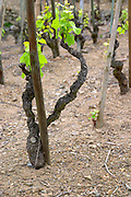 Terraced vineyards in the Cote Rotie district around Ampuis in northern Rhone planted with the Syrah grape. A close up of a Syrah vine with a supporting wooden pole, in spring when the leaves have started to grow.  Ampuis, Cote Rotie, Rhone, France, Europe