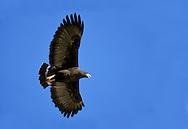 Common Black-Hawk - Buteogallus anthracinus - adult