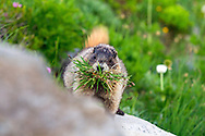 A Hoary Marmot (Marmota caligata) gathering nesting material and food in the Paradise area of Mount Rainier National Park in Washington State, USA