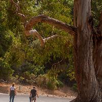Hikers walk below a Eucalyptus tree at Angel Island State Park, San Francisco Bay, California.